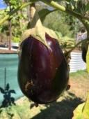 Aubergine, eggplant..